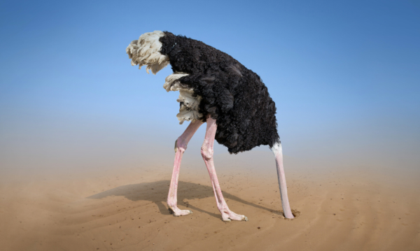 Ostrich hiding its head in the sand